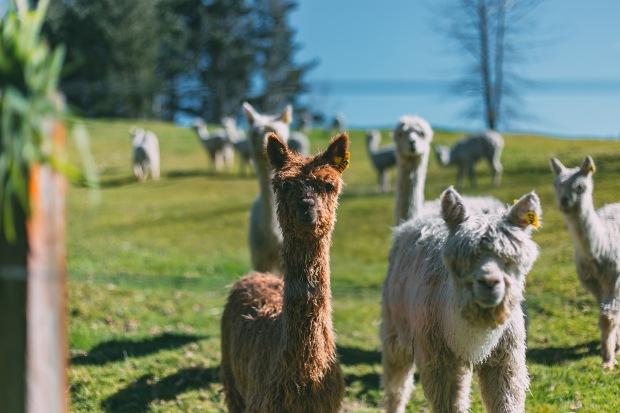 alpacamybags